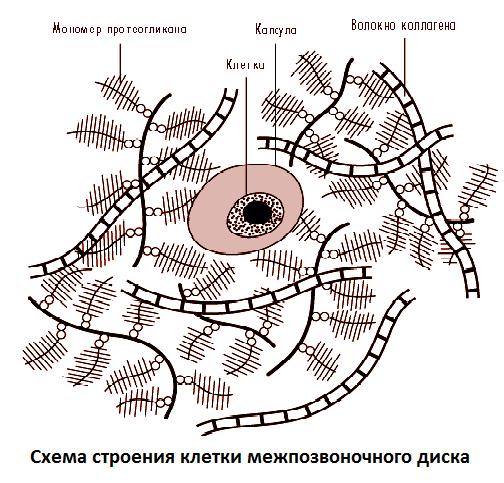 Межпозвоночный диск, строение, функция, состав - анатомия и физиология